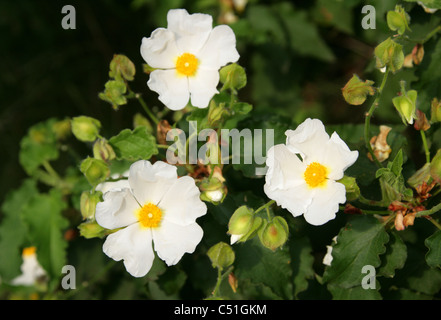 Rockrose, Cistus populifolius, Cistaceae. - Stock Photo