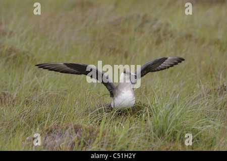 Arctic Skua (Stercorarius parasiticus) , Handa Island, Highlands, Scotland, UK - Stock Photo