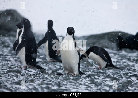 Group of Adelie and Chinstrap Penguins in Antarctic blizzard on rocky snow covered beach 1 bird making eye contact - Stock Photo