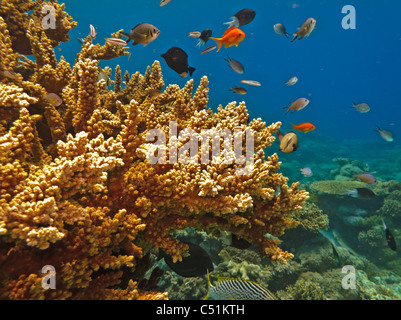 Stony Coral colonies and a variety of colorful fish on the Great Barrier Reef Australia - Stock Photo