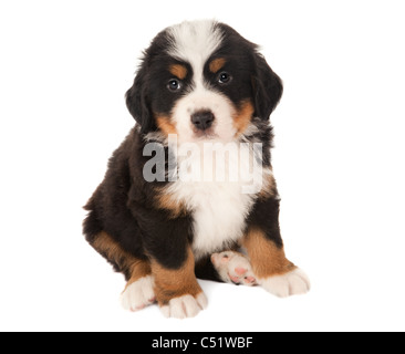 6 weeks old Bernese mountain dog puppy isolated on white - Stock Photo