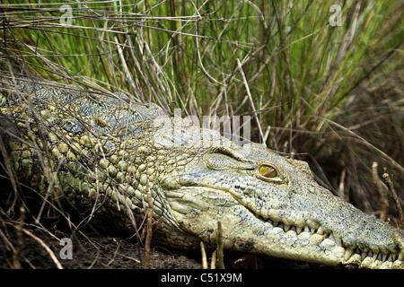 NILE CROCODILE ( Crocodylus niloticus ) Saadani National Park Tanzania - Stock Photo