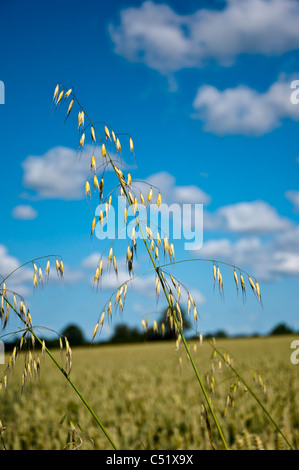 Wild oats Avena Fatua - Stock Photo