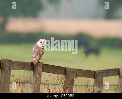A wild Dark Female Barn Owl perched on wooden fence early Morning in Norfolk - Stock Photo