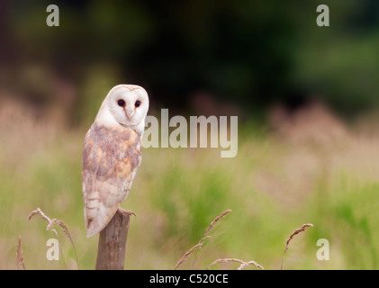 Wild Barn Owl perched on wooden fence post, Norfolk - Stock Photo