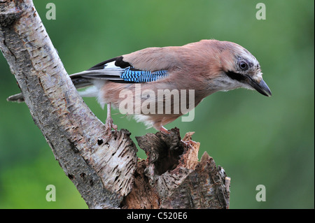 Eurasian Jay (Garrulus glandarius) looking for cavities on tree trunk to store nuts - Stock Photo