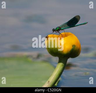 Male Banded Demoiselle, Calopteryx splendens, on Water Lilly Flower, Norfolk - Stock Photo