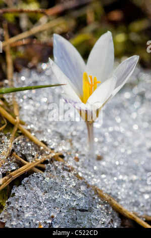 Wild Crocus growing through snow (Crocus vernus albiflorus) - Stock Photo