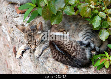 Tabby Greek stray cat with young kitten on the stone wall - Stock Photo