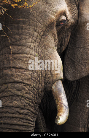 Close-up of an African Elephant - Loxodonta Africana - Kruger National Park - South Africa - Stock Photo