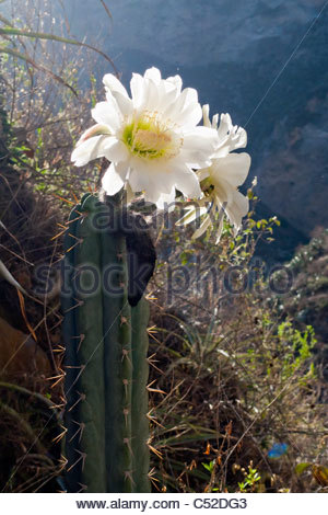 Large flower from a Peruvian Torch cactus (Echinopsis peruviana syn. Trichocereus peruvianus) in Colca Canyon, near - Stock Photo