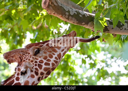 Giraffe eating green leaves on the tree in Kiev zoo, Ukraine - Stock Photo