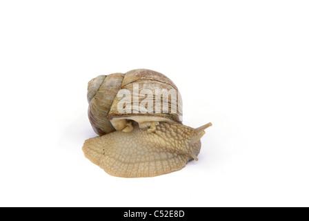 Weinbergschnecke - escargot 01 - Stock Photo
