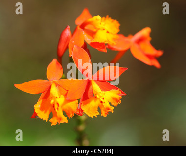 The Spanish Flag Orchid or (Epidendrum radicans), Costa Rica, Central America - Stock Photo