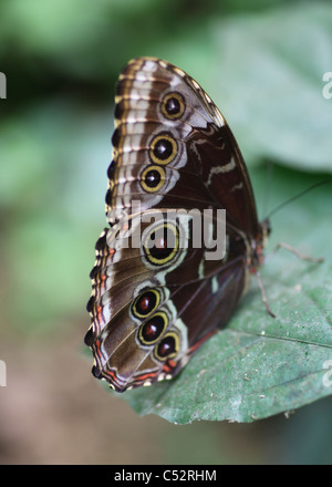 The undersides of the wings of the Peleides Blue Morpho (Morpho peleides) butterfly found in Costa Rica, Central - Stock Photo