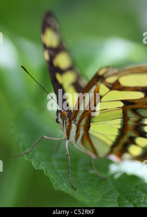 Siproeta stelenes, commonly known as the Malachite, is a neotropical brush-footed butterfly (family Nymphalidae) - Stock Photo