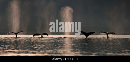 A group of Humpback Whales dive down as they are feeding in Stephens Passage near Admiralty island, Inside Passage, - Stock Photo