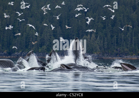 Humpback whales bubble net feeding for herring in Chatham Strait, Inside Passage, Alaska - Stock Photo