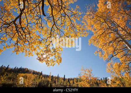 View of yellow Aspen and Willow trees along the Alaska Highway between Haines and Haines Junction, Yukon Territory, - Stock Photo