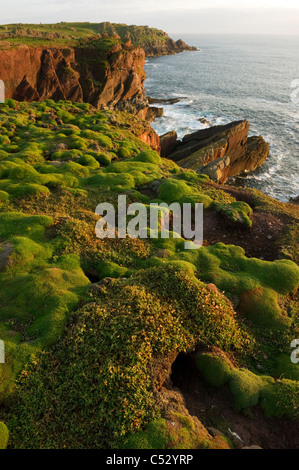 Many Manx Shearwater burrows surrounded by moss on the coast at Purple cove Skokholm island South Wales UK - Stock Photo