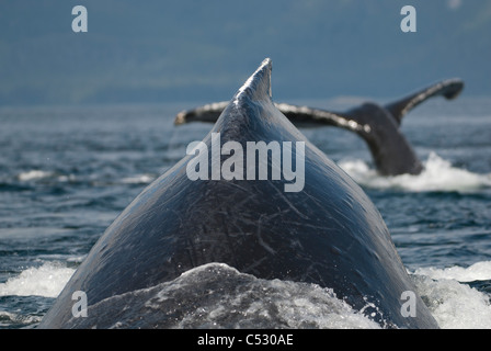 Close up of Humpback Whales surfacing in Frederick Sound, Inside Passage, Southeast Alaska, Summer - Stock Photo