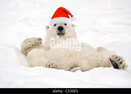 Polar Bear wearing Santa hat lying on its back in snow at Churchill, Manitoba, Canada. Composite - Stock Photo