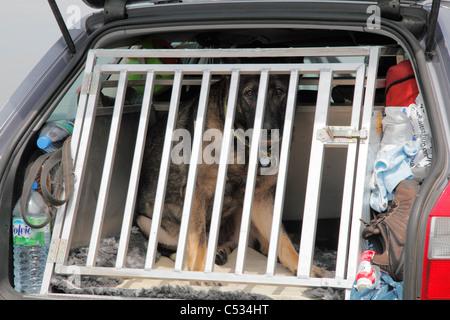 German shepherd behind the grid in a car - Stock Photo