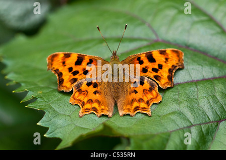 Comma butterfly, Polygonia c-album, UK - Stock Photo