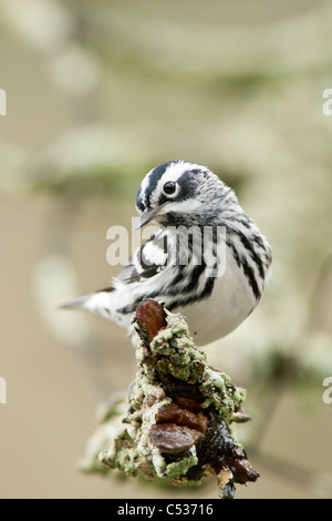 Black and White Warbler - vertical - Stock Photo