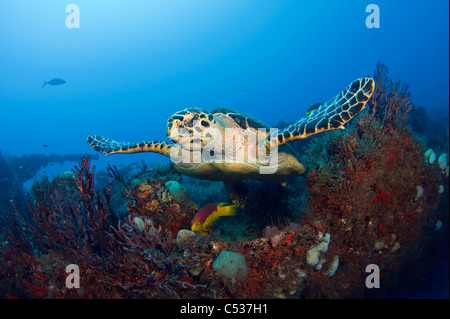 Hawksbill Sea Turtle (Eretmochelys imbricata) photographed in Palm Beach County, FL. - Stock Photo