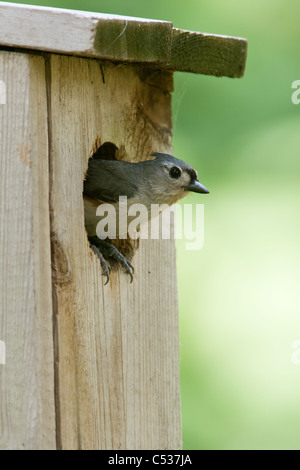 Tufted Titmouse peeking out of Nest Box - vertical - Stock Photo