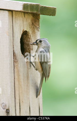Tufted Titmouse perched at Nest Box - vertical - Stock Photo