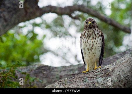 Wild, non-captive, non-habituated Red-shouldered Hawk (Buteo lineatus) in Everglades National Park, Florida - Stock Photo