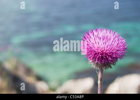 purple thistle in blossom with a crystal sea waters in a background. Western Crimea, Black sea in later spring - Stock Photo