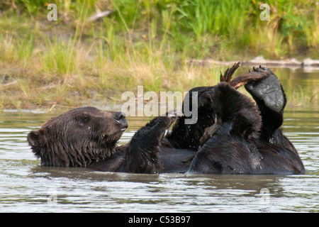 Brown bears play in a pond at the Alaska Wildlife Conservation Center, Southcentral Alaska, Summer - Stock Photo