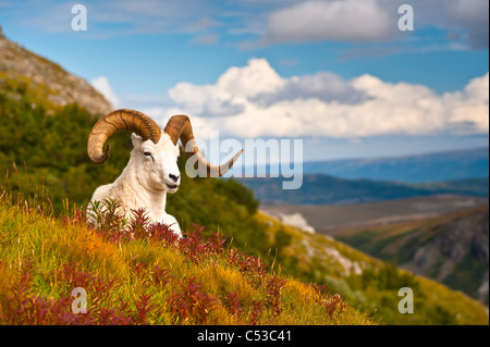 Adult Dall sheep ram resting on a hillside on Fall tundra near Savage River Valley in Denali National Park, Alaska - Stock Photo