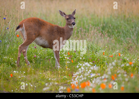 An adult Sitka Blacktailed deer doe stands in a field of colorful wild flowers Alaska. Captive - Stock Photo