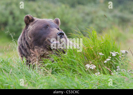 Profile of an adult Brown bear sow amongst green grasses at Alaska Wildlife Conservation Center, Alaska, Summer. - Stock Photo