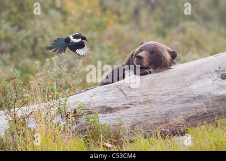 Grizzly bear lies on a log and watches a Magpie flying a few feet away, Alaska Wildlife Conservation Center, Alaska. - Stock Photo
