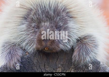 Close up of an adult porcupine at Alaska Wildlife Conservation Center, Southcentral Alaska, Summer. Captive - Stock Photo