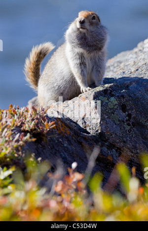 Close up of an adult Arctic Ground Squirrel sitting on a rock with its tail pointed up in Denali National Park, - Stock Photo