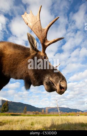 A low-angle photo of a bull moose's head and neck taken, Alaska Wildlife Conservation Center, Alaska, Autumn. CAPTIVE - Stock Photo