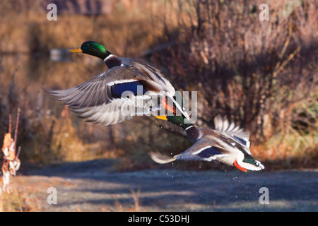 Two Mallard Drake ducks take off from a pond in Anchorage, Southcentral Alaska, Autumn - Stock Photo