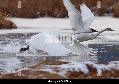 An adult and juvenile Trumpeter Swan take off from a pond near Girdwood, Southcentral Alaska, Autumn - Stock Photo