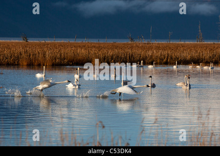 A pair of Trumpeter Swans take off from a pond near Girdwood while a group of swans swim in the background, Alaska
