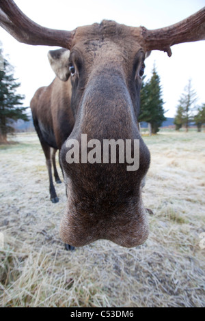 A wide-angle view of a bull moose standing at the Alaska Widllife Conservation Center, Southcentral Alaska, Winter. - Stock Photo