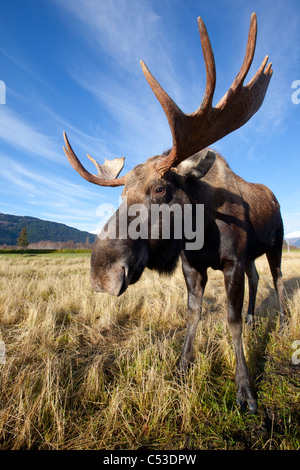 A wide-angle close-up view of a bull moose at the Alaska Widllife Conservation Center, Southcentral Alaska, Autumn. CAPTIVE Stock Photo