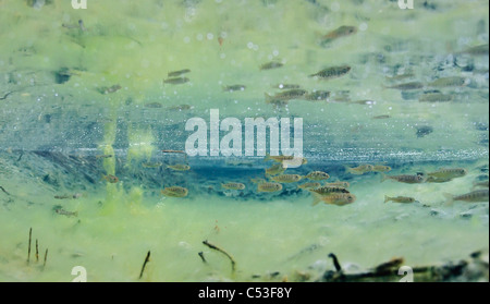 Underwater view of coho salmon fry and three-spine stickleback rearing in Power Creek, Copper River Delta, Alaska - Stock Photo