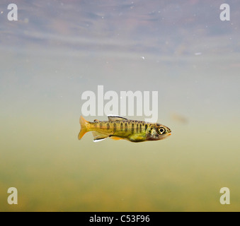 Underwater view of a recently emerged coho salmon fry rearing in 18-mile Creek, Copper River Delta, Alaska. - Stock Photo