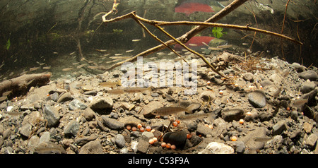 Underwater view of coho and sockeye salmon fry rearing in Power Creek, near Cordova, Copper River Delta, Alaska - Stock Photo
